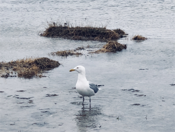 Seagull standing in shallow water, sand with puddles in foreground on Cape Cod
